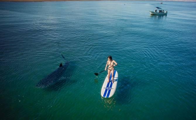 Tiger Shark Attacks Paddleboarder In Hawaii – Maui Salt & Sage ...